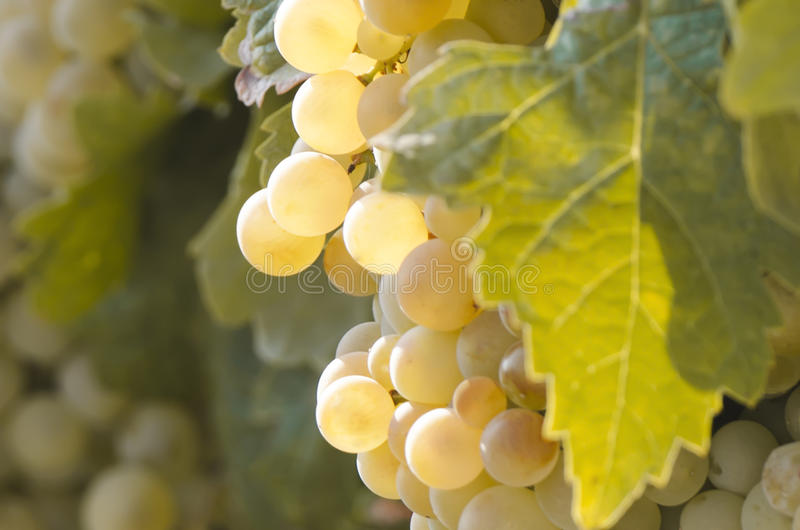 Detalhe de um grupo de uvas no vinhedo imagens de stock