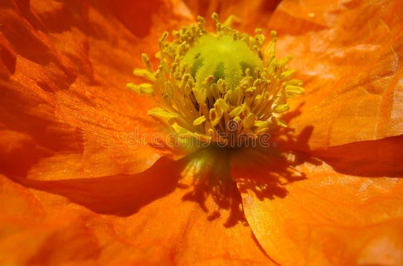 Detalhe de uma flor popy alaranjada fotos de stock royalty free