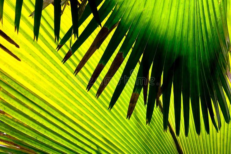 Detalhe de uma folha das palmeiras, Seychelles foto de stock royalty free