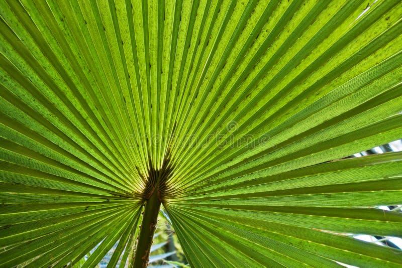 Detalhe de uma folha grande de uma palmeira no jardim de Majorelle em C4marraquexe, Marrocos imagens de stock royalty free
