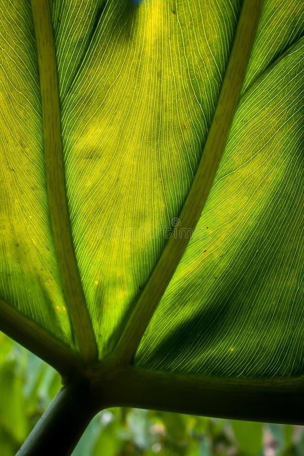 Detalhe de uma grande, folha verde Backlit fotos de stock royalty free