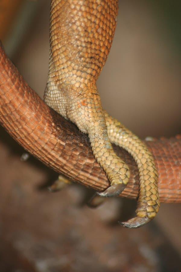 Detalhe de uma iguana verde fotos de stock