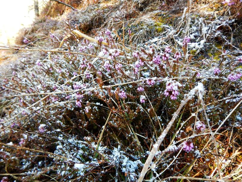 Detalhe de uma urze violeta congelada bonita fotografia de stock royalty free