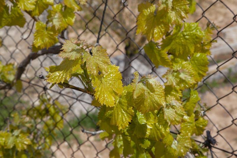 Detalhe de uma vinha na mola, quando brotar foto de stock