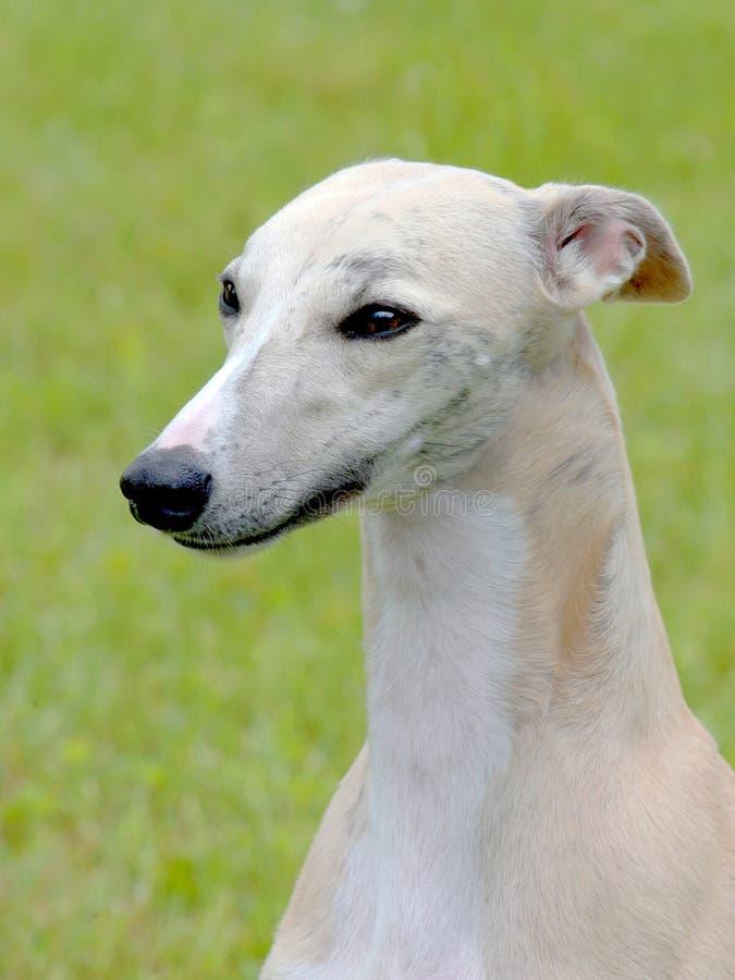 Detalhe do cão de corrida branco fotografia de stock
