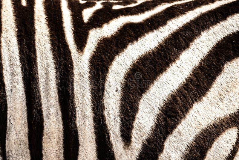 Detalhe do cabelo de uma zebra no Parque Nacional do Elefante do Addo, perto de Port Elizabeth, áfrica do Sul fotos de stock