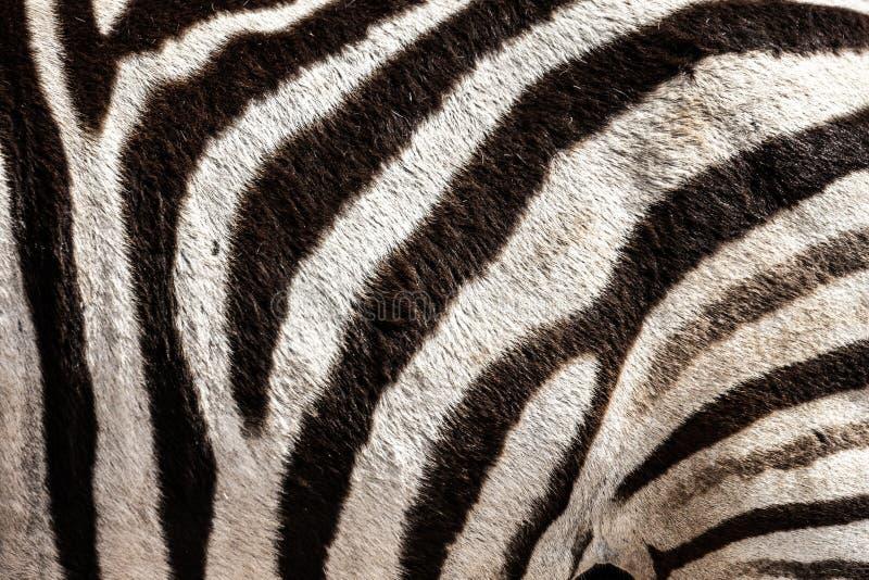 Detalhe do cabelo de uma zebra no Parque Nacional do Elefante do Addo, perto de Port Elizabeth, áfrica do Sul imagens de stock