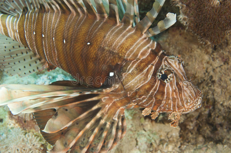 Detalhe do close up de lionfish do Mar Vermelho imagem de stock royalty free