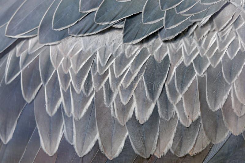 Detalhe do close-up de pena de Shoebill cinzento, rex da plumagem do Balaeniceps, retrato do pássaro bicudo grande, Uganda Cena d fotos de stock royalty free