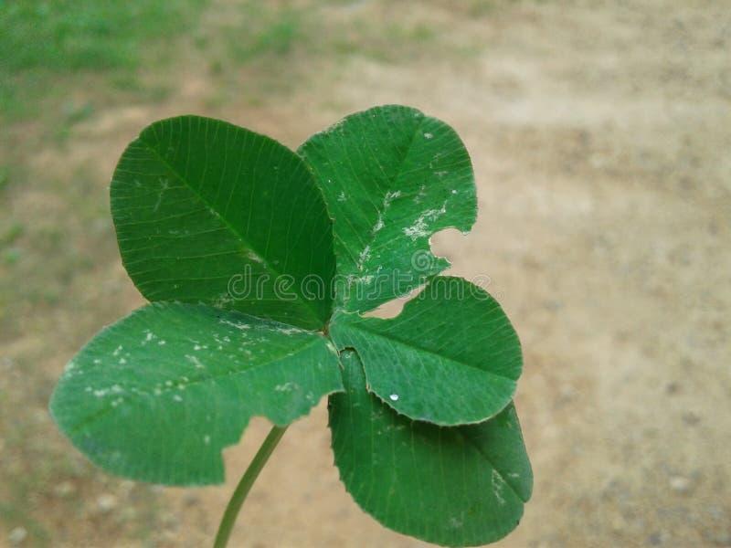 Detalhe do close up do verde do trevo de cinco folhas afortunado imagens de stock