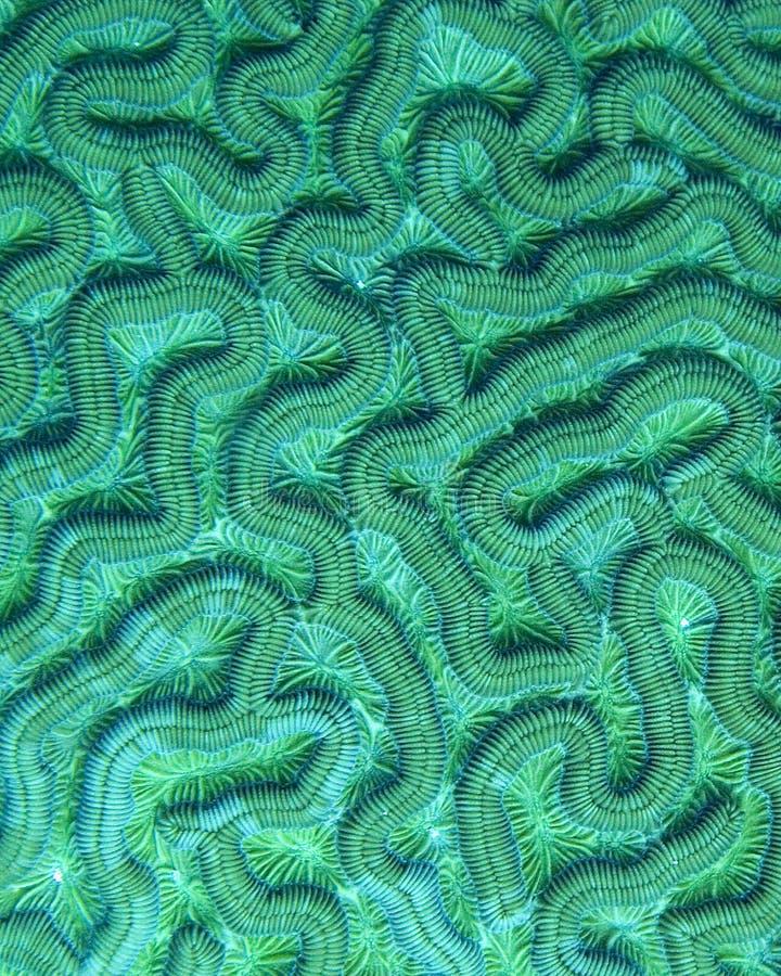 Detalhe do coral de cérebro fotografia de stock