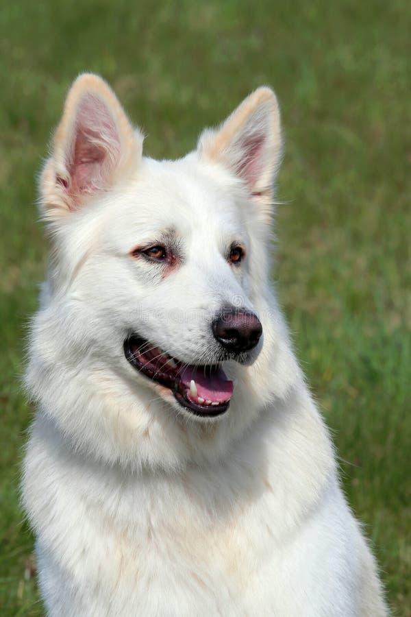 Detalhe do pastor suíço branco Dog imagem de stock