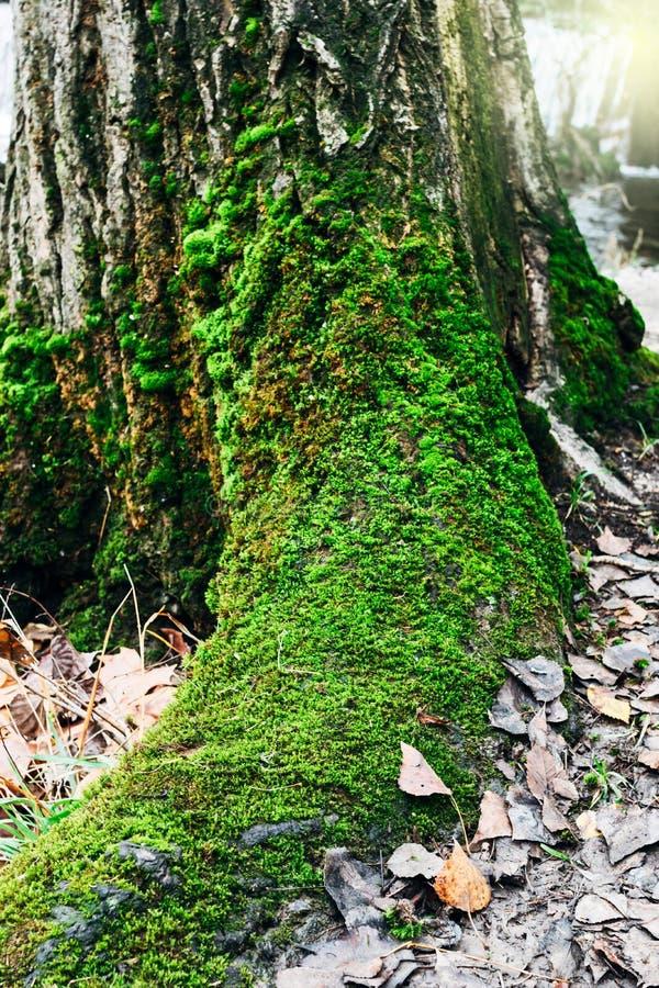 Detalhe do tronco da árvore Mossy no parque fotografia de stock