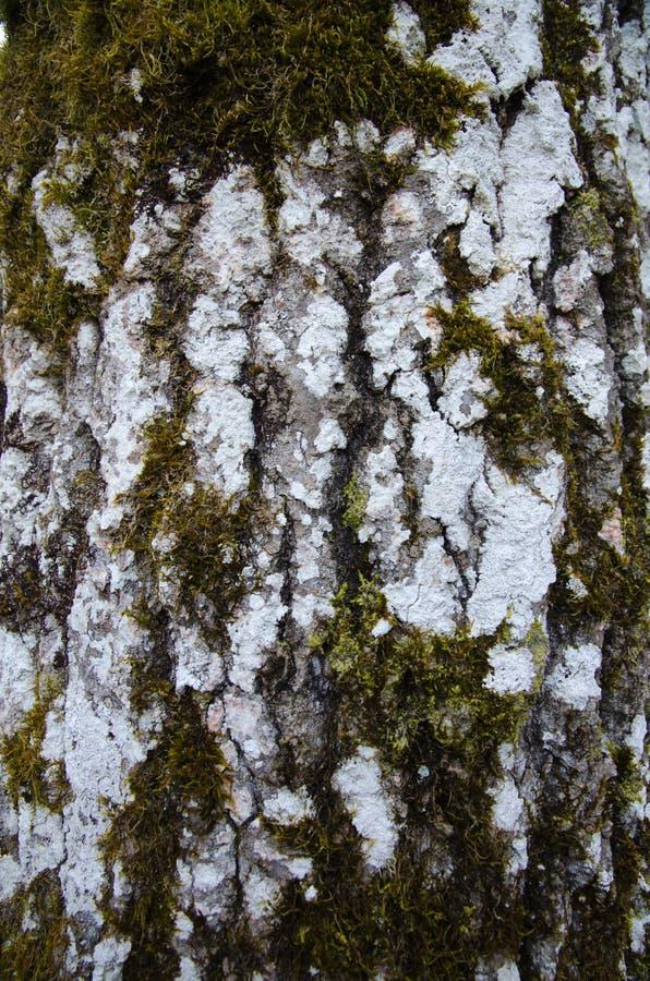 Detalhe do tronco de árvore de Aspen imagens de stock royalty free
