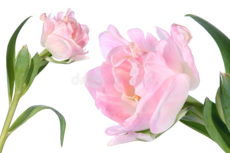 Detalhe do tulip da flor e isolado imagem de stock royalty free