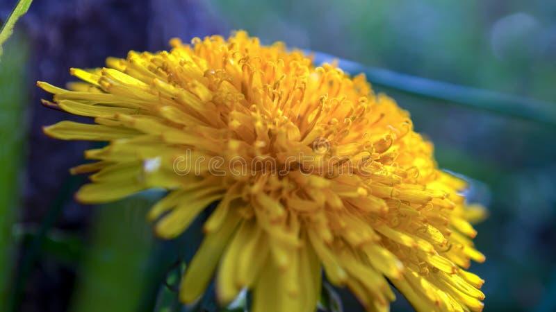 Detalhe dos florets de raio da flor do dente-de-leão imagem de stock royalty free