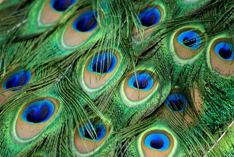 Detalhe e textura de penas exóticas do pavão fotos de stock