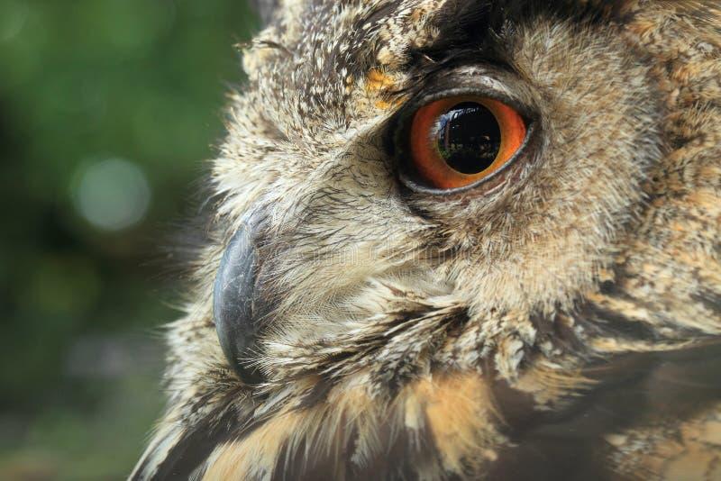 Detalhe euro-asiático da coruja de águia imagens de stock royalty free