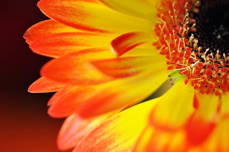 Detalhe, foto do gerbera amarelo e alaranjado, fotografia macro e fundo das flores fotografia de stock royalty free