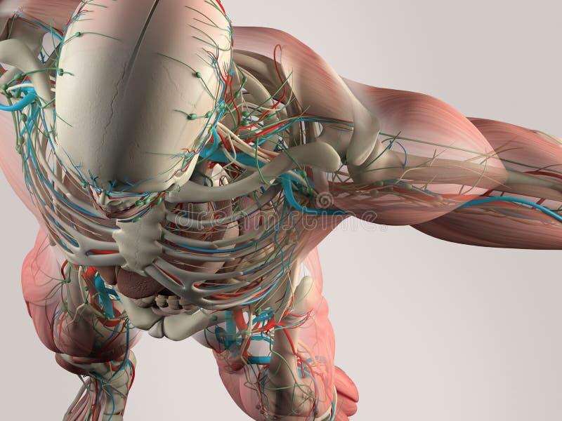 Detalhe humano da anatomia de caixa e de ombro Músculo, artérias No fundo liso do estúdio Detalhe humano da anatomia de crânio e  ilustração stock