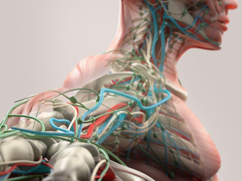 Detalhe humano da anatomia de ombro, de braço e de pescoço Estrutura do osso, músculo, artérias No fundo liso do estúdio ilustração stock