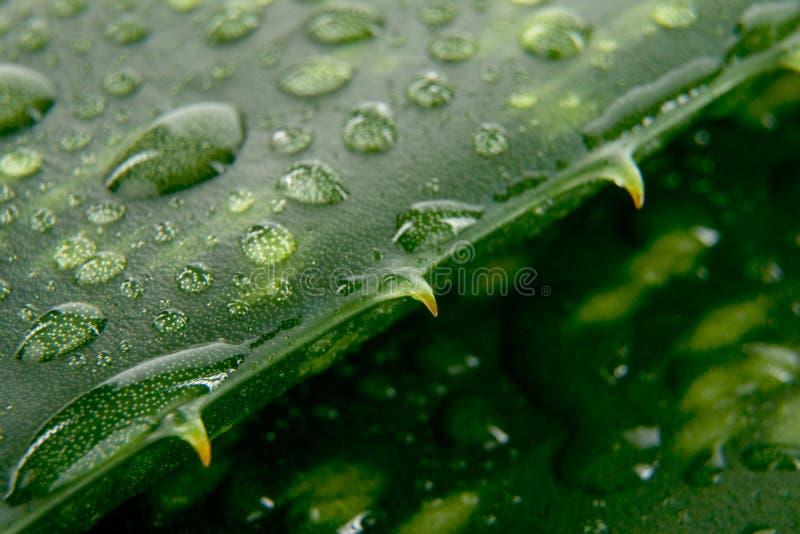 Folhas do aloés com gota da água imagem de stock royalty free