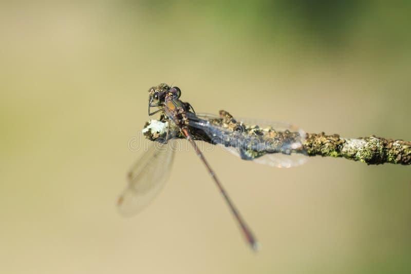 Detalhe o close up de um damselfly esmeralda Chalcoleste do salgueiro ocidental foto de stock
