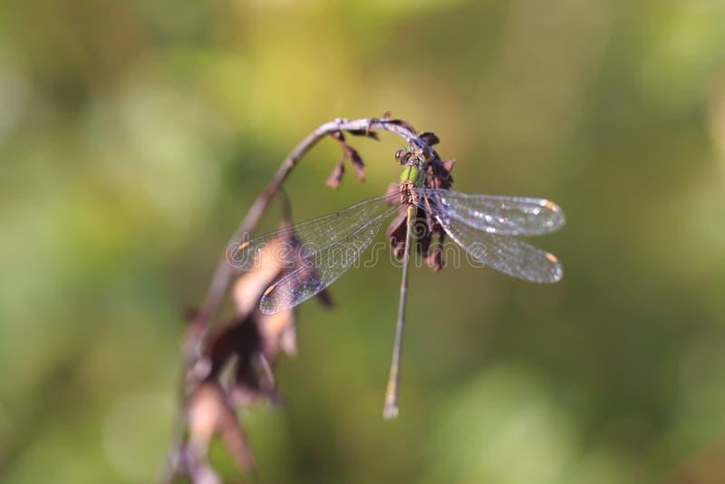 Detalhe o close up de um damselfly esmeralda Chalcoleste do salgueiro ocidental imagem de stock royalty free