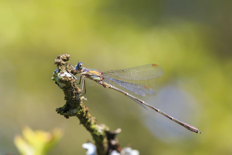 Detalhe o close up de um damselfly esmeralda Chalcoleste do salgueiro ocidental fotografia de stock