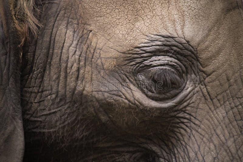 Detalhe próximo do olho do elefante Retrato lateral próximo do perfil da cabeça do elefante com o olho como o ponto principal do  fotos de stock royalty free