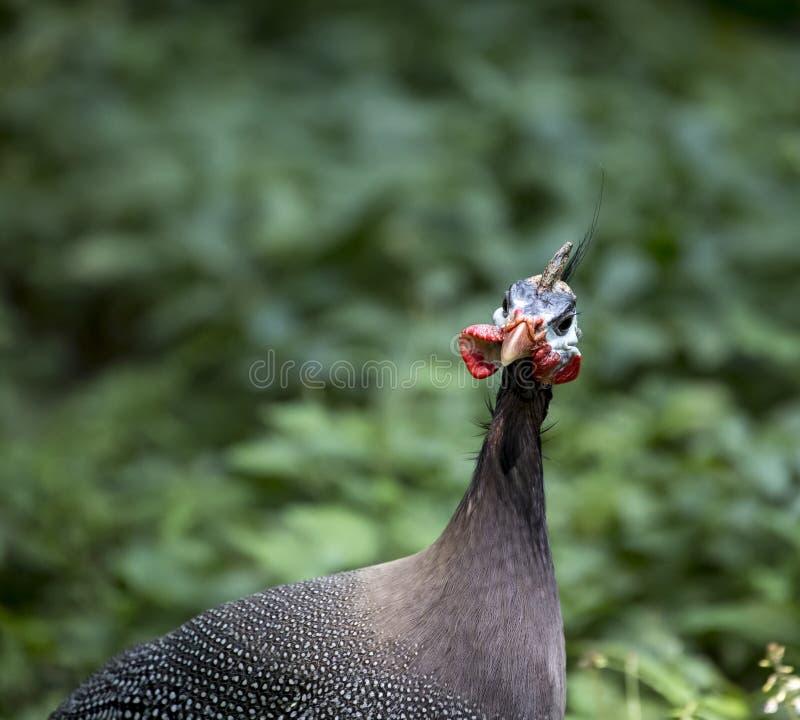 Detalhe principal de galinha-do-mato imagens de stock