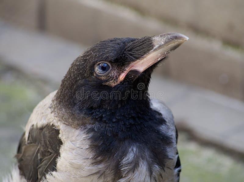 Detalhe principal do corvo imagens de stock royalty free