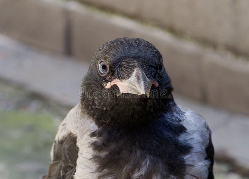 Detalhe principal do corvo fotografia de stock royalty free
