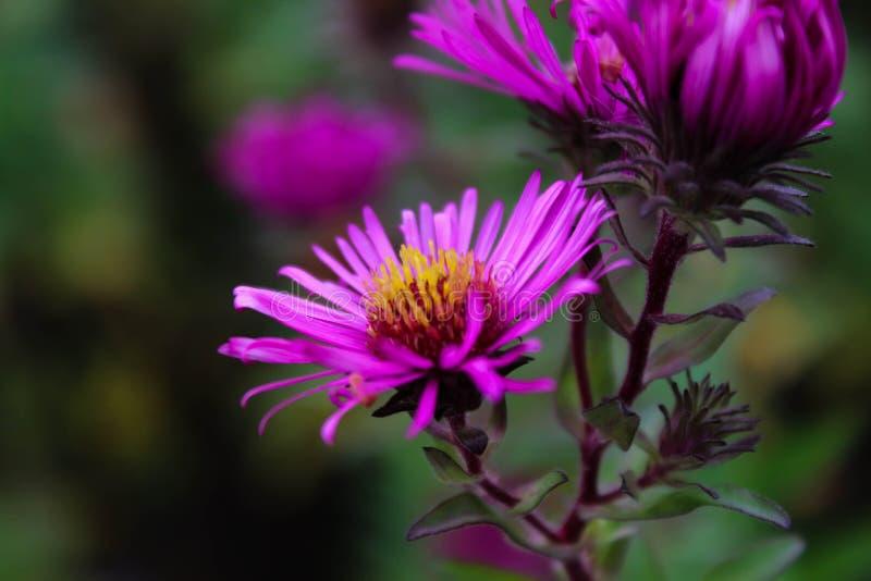 Detalhe roxo das flores do verão imagens de stock royalty free