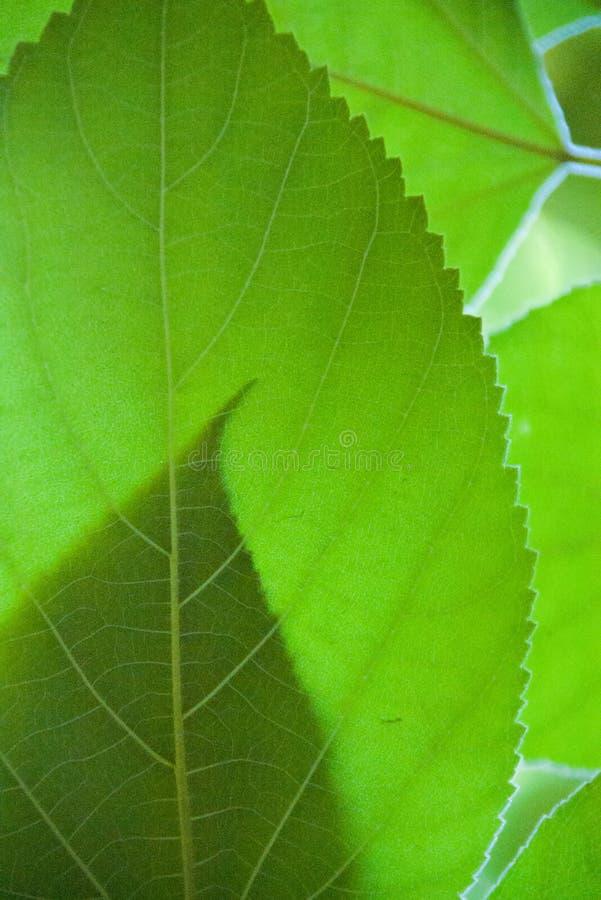 Detalhe verde da textura da folha contra o luminoso foto de stock