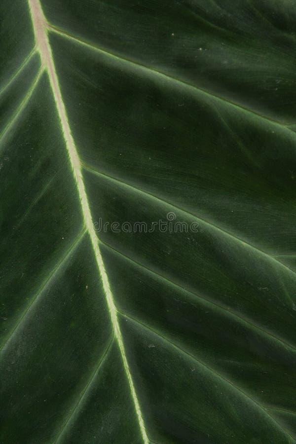Detalhe verde grande da folha imagens de stock royalty free
