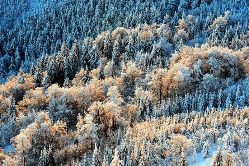 Detalhe a vista em árvores coloridas do pico de montanha brincado Floresta fria da manhã do inverno, república checa imagem de stock
