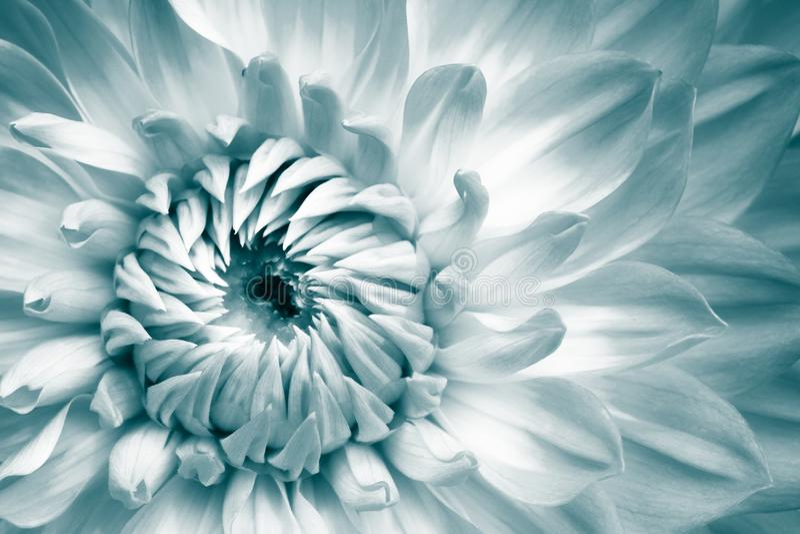 Detalhes de branco e de luz - fotografia azul do macro da flor fresca da dália A cor tonificou a foto com tons esverdeados de tur fotos de stock