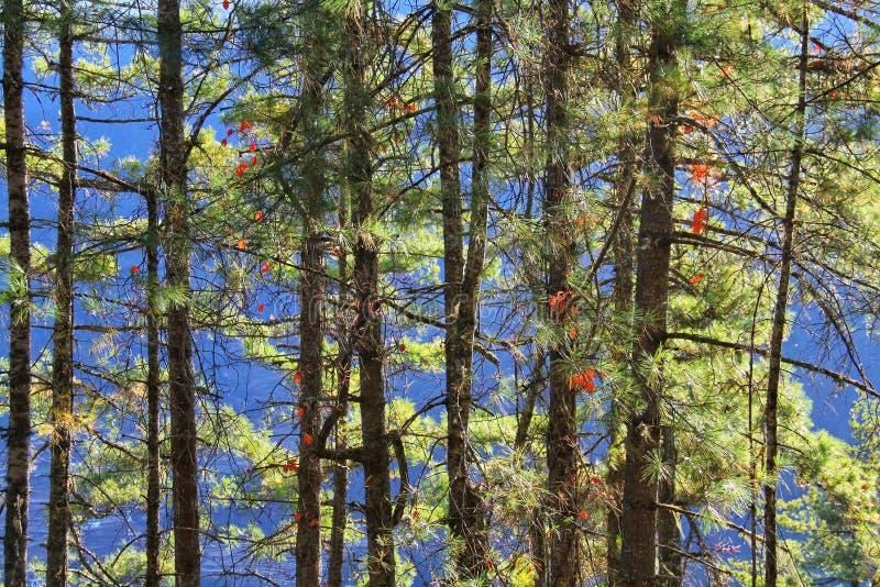 Detalhes de floresta verde do pinheiro com fundo da montanha foto de stock royalty free