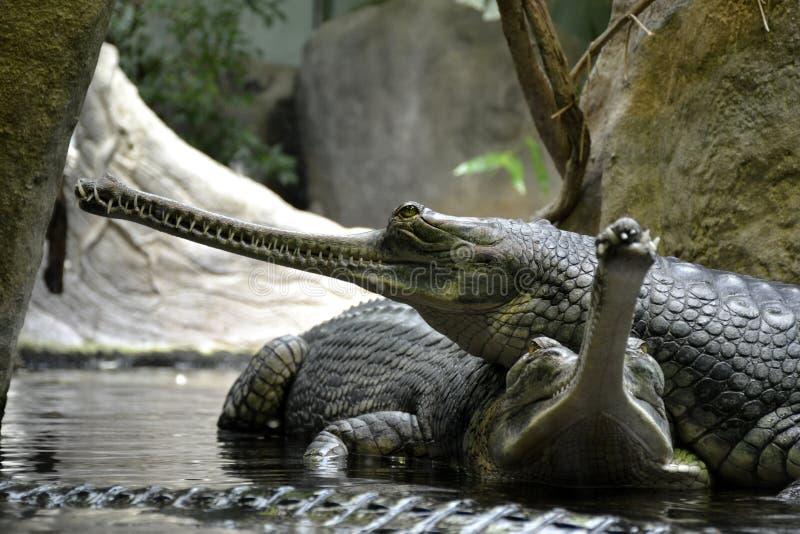 Detalhes de répteis gharial selvagens fotografia de stock
