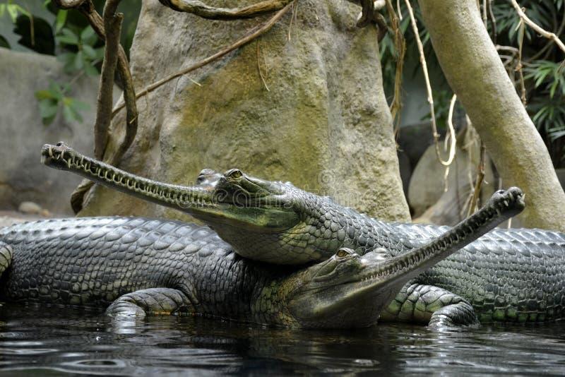 Detalhes de répteis gharial selvagens fotos de stock
