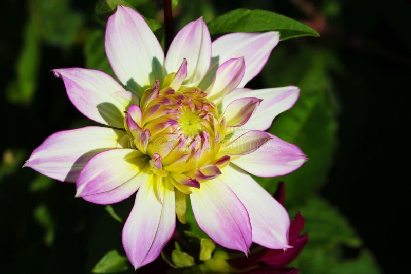 Detalhes do fim branco, amarelo e roxo do macro da flor da dália acima da fotografia Foto na cor que sublinha a textura, contrast fotos de stock royalty free