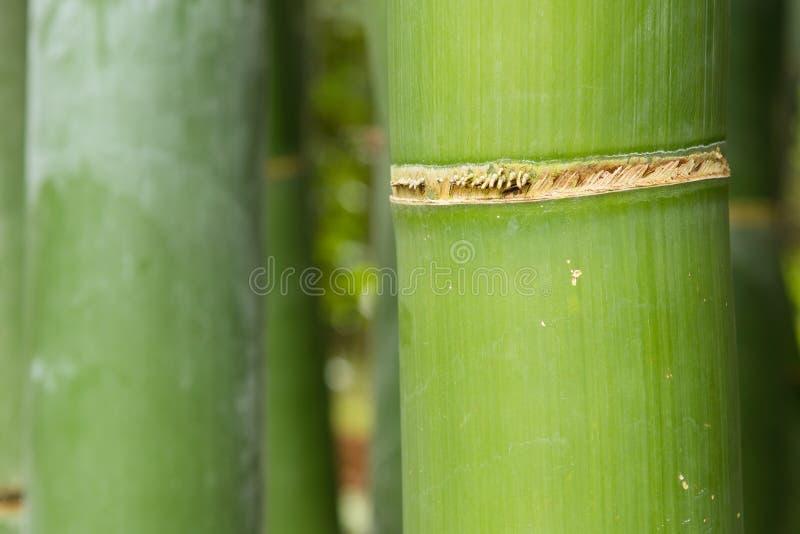 Detalj av bambuskogstjälk med olik gräsplan och guling hu royaltyfri fotografi