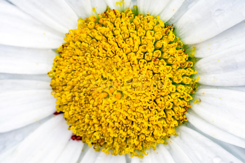 Detalj av blomman - stigma arkivfoto