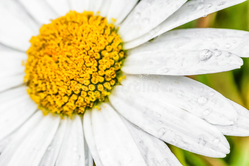Detalj av blomman - stigma arkivbild
