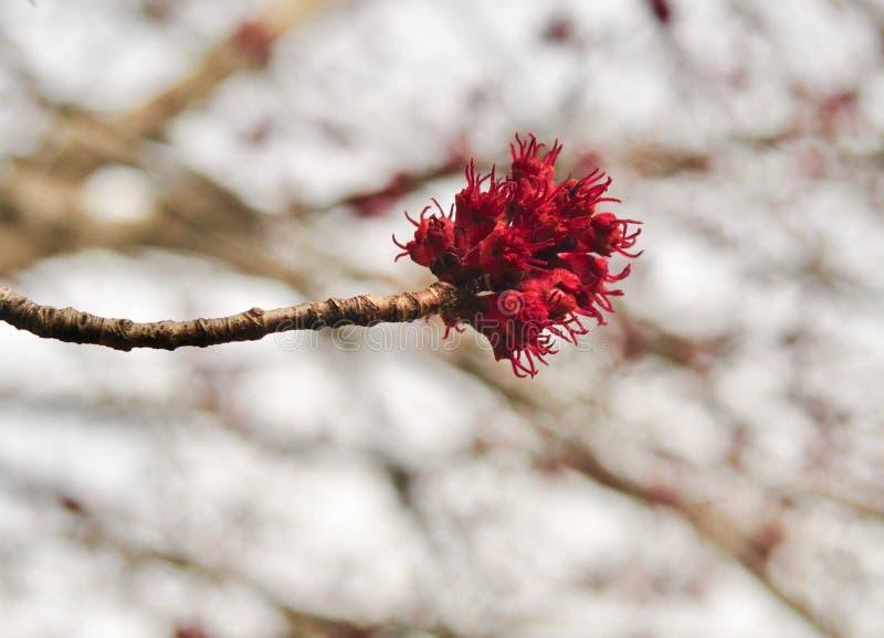 Detalj av blommorna från ett träd för röd lönn i vår arkivfoto