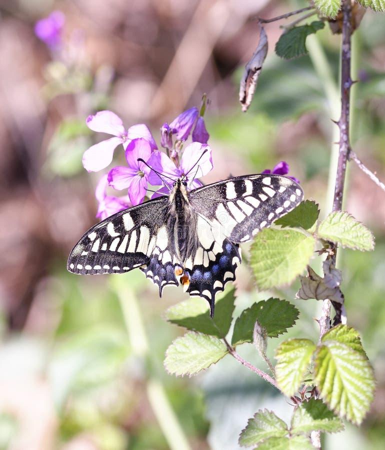 detalj av den gamla världen Swallowtail Papilio machaon royaltyfri bild