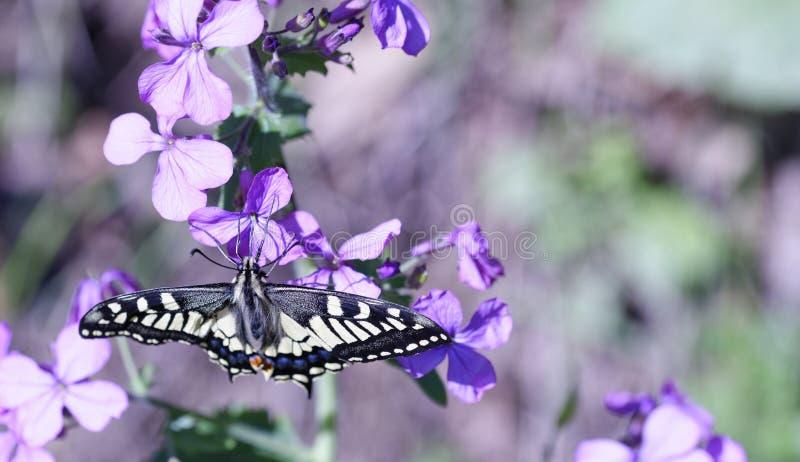 detalj av den gamla världen Swallowtail Papilio machaon royaltyfri foto