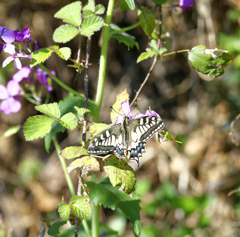 detalj av den gamla världen Swallowtail Papilio machaon royaltyfri fotografi