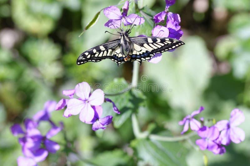 detalj av den gamla världen Swallowtail Papilio machaon royaltyfria bilder